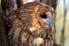 Free A Tawny Owl Royalty Free Stock Photo - 18021705
