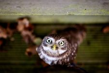 Free A Little Owl Royalty Free Stock Photography - 18022187