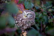 Free A Little Owl Royalty Free Stock Photos - 18022278