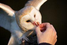 Free A Barn Owl Stock Image - 18024421
