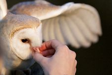 Free A Barn Owl Royalty Free Stock Images - 18024439