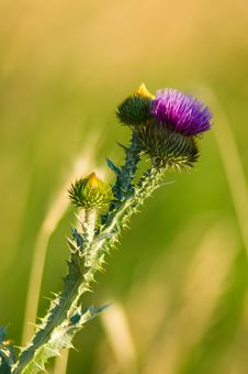 Free Wild Thistle In Sunlight Royalty Free Stock Photos - 18025528