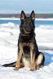 Black German Sheepdog Royalty Free Stock Photography