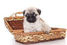 Free Purebred Pug Puppy Royalty Free Stock Photography - 18026627