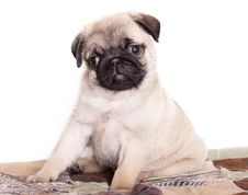 Free Pug Purebred Puppy Royalty Free Stock Photos - 18026768