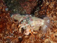 Free Anemona Hermit Crab Stock Photography - 18027092