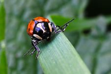 Free Red Beetle Royalty Free Stock Photography - 18027367