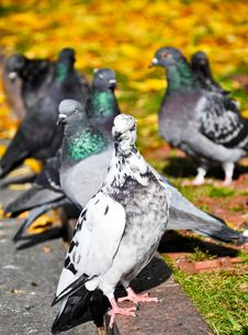Free White Pigeon In Autumn Stock Photo - 18027760