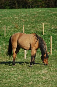 Free Beautiful Brown Horse Grazing In A Field Stock Photos - 18028083