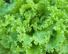Free Details Of Green Lettuce Stock Images - 18028534