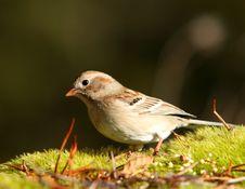 Free Sparrow Stock Image - 18028551