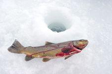 Free Ice Trout Icefishing Royalty Free Stock Photo - 18029425