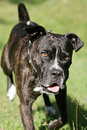 Free Running Cane Corso Dog Stock Images - 18032784