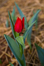 Free Beautiful Red Tulip In The Royal Garden Royalty Free Stock Photos - 18035478