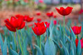Free Beautiful Red Tulip In The Royal Garden Royalty Free Stock Images - 18035539