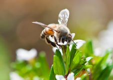 Pollen Collector Royalty Free Stock Photography