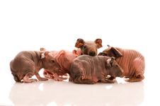 Free Skinny Guinea Pigs Stock Images - 18030184