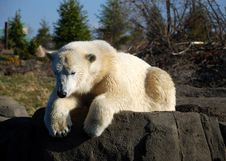 Free Polar Bear Sun Bathing Stock Image - 18031431