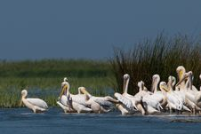Free White Pelicans Colony Stock Image - 18031851