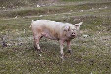 Free Pig Sow Swine Stock Photos - 18032423
