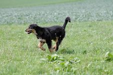 Free Wild Running Hovawart Dog Royalty Free Stock Images - 18032509