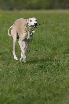 Free Whippet In Action Royalty Free Stock Images - 18032529