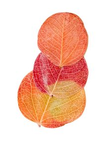 Free Red Autumn Leaf Isolated Stock Photo - 18034650