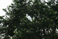 Free White Heron Royalty Free Stock Photos - 18035548