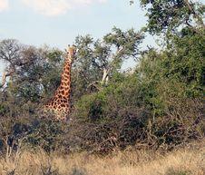 Free Giraffe In Bushveld Stock Photos - 18035583