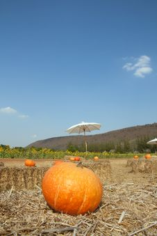 Big Pumkin In The Field Royalty Free Stock Images