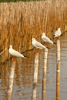 Free Group Of Seagull Stand On Bamboo Tree Royalty Free Stock Images - 18038299