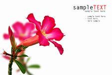 Free Pink Impala Lily Royalty Free Stock Photo - 18038755