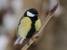 Free Great Tit (Parus Major) Royalty Free Stock Image - 18039036
