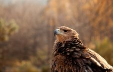 Free Portrait Of Mountain Eagle Royalty Free Stock Photo - 18039525
