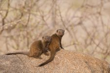 Free Dwarf Mongooses Royalty Free Stock Images - 18040249