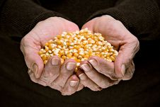 Corn In Senior Woman Hands Royalty Free Stock Photo