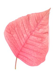 Free Pink Poinsettia Leaf Royalty Free Stock Image - 18043066