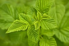Close Up Of A Green Mint Plant Stock Image