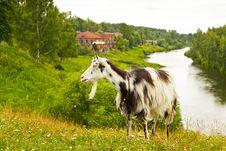 The Goat At Rural Landscape