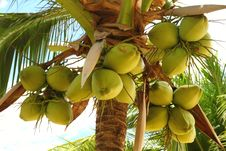 Free Coconuts Stock Images - 18046014