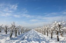 Free Convergent Snowy Orchard Rows Stock Image - 18046581