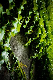Free Ivy Leaves On Wall Royalty Free Stock Photos - 18047428