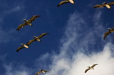 Free Pelicans Flying In Sky Royalty Free Stock Photos - 18047718
