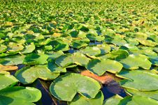Free Lilypads Stock Photo - 18048960