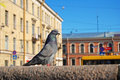 Free Dove St. Petersburg Royalty Free Stock Photography - 18052007