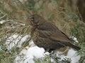 Free Common Blackbird Stock Photos - 18055863