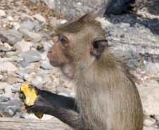 Free The Monkey Bites A Banana Royalty Free Stock Images - 18050879
