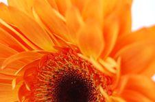 Free Orange Gerbera Stock Photography - 18051042