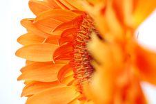 Free Orange Gerbera Stock Photos - 18051063