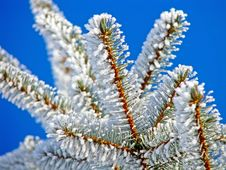 Free Winter Pine Tree Is Covered With Hoarfrost Stock Photo - 18052280